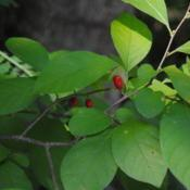 Location: Downingtown, PennsylvaniaDate: 2015-09-16red fruit and the rounded leaves