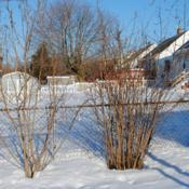 Location: Downingtown, PennsylvaniaDate: 2010-02-19two hazelnuts to right; two spicebush to left