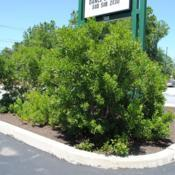 Location: Downingtown, PennsylvaniaDate: 2010-07-11full-grown shrubs in driveway island