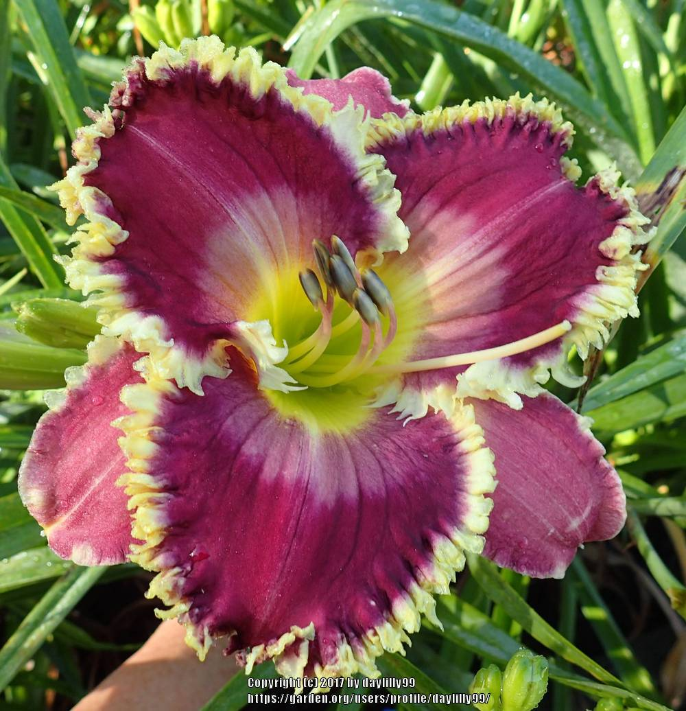 Photo of Daylily (Hemerocallis 'Beebleberry Pie') uploaded by daylilly99