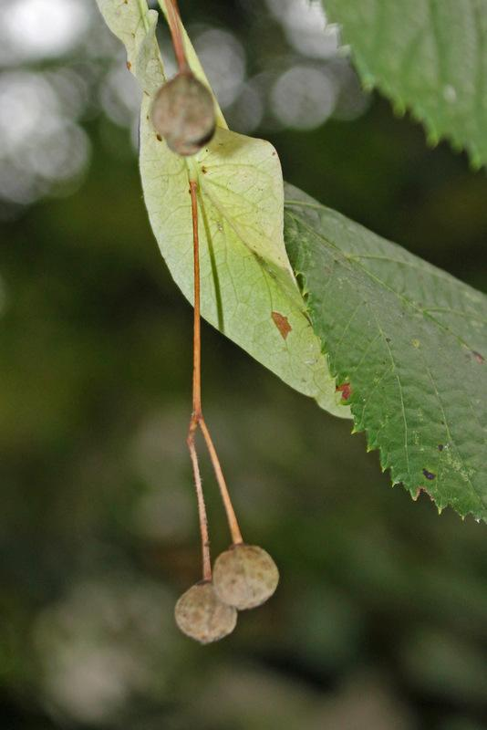 Photo of Broad-leaved Linden (Tilia platyphyllos) uploaded by RuuddeBlock