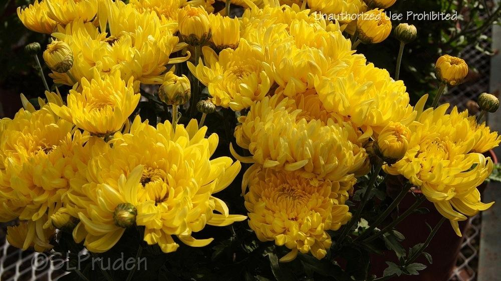 Photo of Garden Mum (Chrysanthemum 'Gold Country') uploaded by DaylilySLP