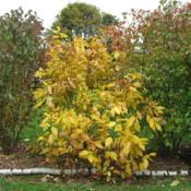Location: Downingtown, PennsylvaniaDate: 2009-10-30shrub in yellow fall color between Arrowwoods