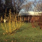 Location: Aurora, IllinoisDate: December in 1980'stwo shurbs in yard with two Redtwigs