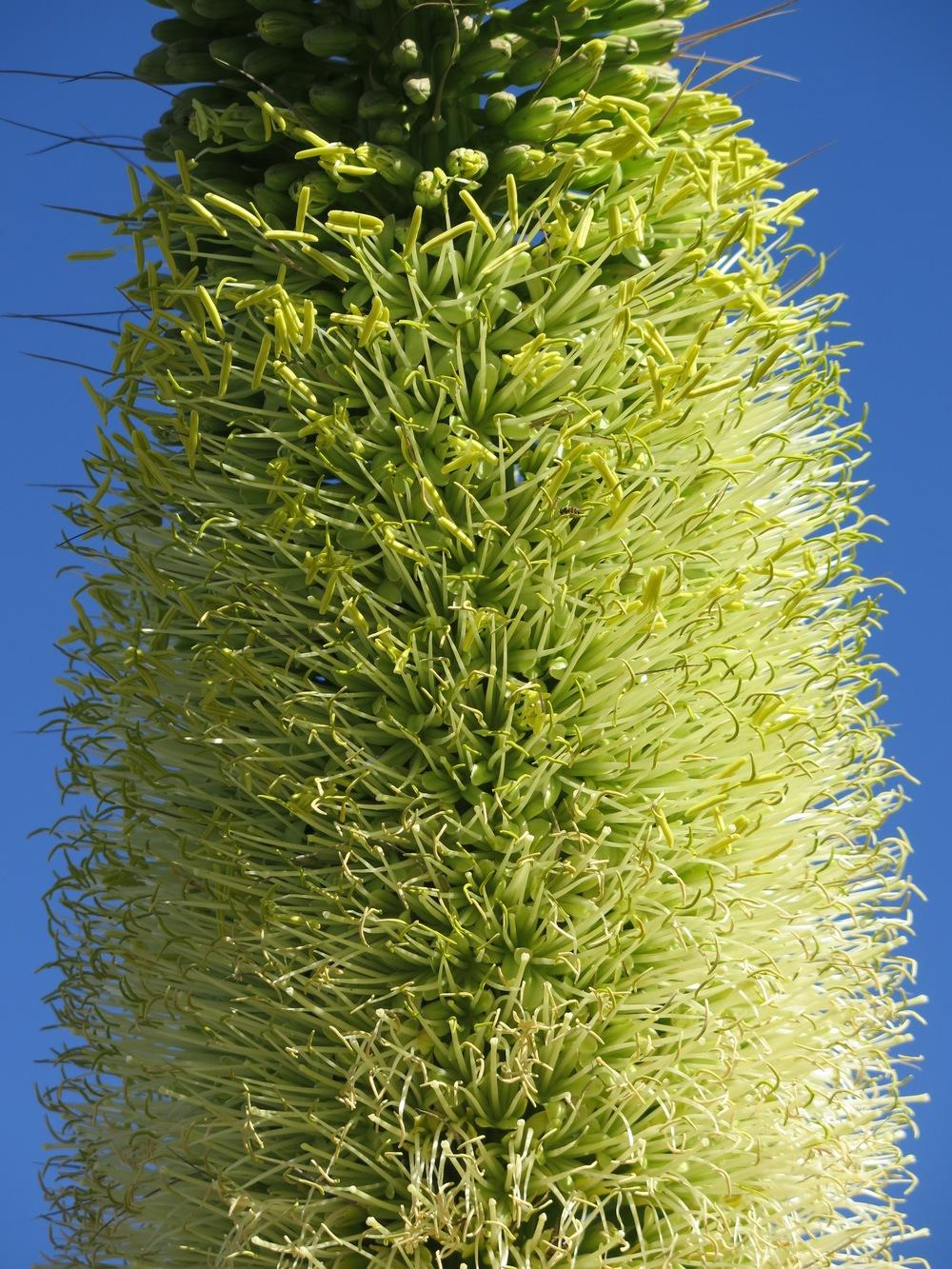 Photo of Foxtail Agave (Agave attenuata) uploaded by Baja_Costero