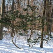 Location: French Creek State Park in southeast PennsylvaniaDate: 2009-12-24lone wild shrub in winter