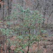 Location: near Downingtown, PennsylvaniaDate: 2011-11-20wild shrub near road in woods in late fall