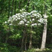 Location: French Creek State Park in southeast PennsylvaniaDate: 2011-05-30lone wild shrub in bloom