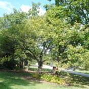 Location: Morton Arboretum in Lisle, IllinoisDate: 2017-09-05full-grown tree in Midwest Collection