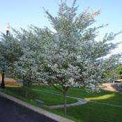 Location: Thorndale, PennsylvaniaDate: 2011-05-09two trees in white bloom