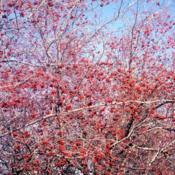Location: Aurora, IllinoisDate: winter in 1980'slots of red fruit