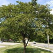 Location: Downingtown, PennsylvaniaDate: 2010-07-27a planted tree in a landscape