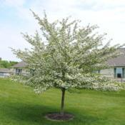 Location: Newtown Square, PennsylvaniaDate: 2011-05-13maturing tree in bloom