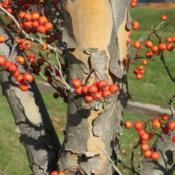 Location: near Wayne, PennsylvaniaDate: 2007-12-17bark and fruit close-up
