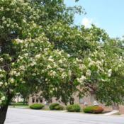 Location: Downingtown, PennsylvaniaDate: 2014-06-07side of tree in bloom