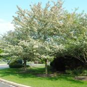 Location: Newtown Square, PennsylvaniaDate: 2011-05-13mature tree in bloom