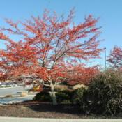 Location: Blue Bell, PennsylvaniaDate: 2012-01-09maturing tree in red fruit