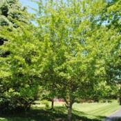 Location: Chesterbrook, PennsylvaniaDate: 2010-05-05mature tree in summer