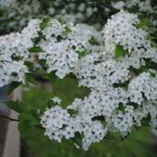 Location: Thorndale, PennsylvaniaDate: 2011-05-09close-up of flower clusters