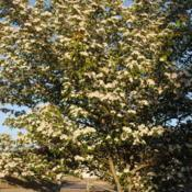 Location: Thorndale, PennsylvaniaDate: 2011-05-09flower clusters on side of tree