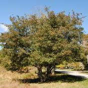 Location: near West Chester, PennsylvaniaDate: 2015-10-06full-grown tree