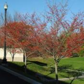 Location: Thorndale, PennsylvaniaDate: 2009-11-29three trees with red fruit