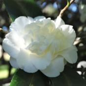 Location: Camellia Gardens, Caringbah South, N.S.W., AustraliaDate: 2015-08-06