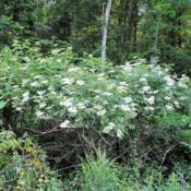 Location: French Creek State Park in southeast PennsylvaniaDate: 2015-06-10wild shrubs in bloom in swampy area