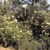 Location: Batavia, IllinoisDate: July in 1980'swild shrubs in bloom in swampy spot