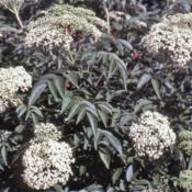 Location: Batavia, IllinoisDate: July in 1980'sclose-up of flower clusters and foliage