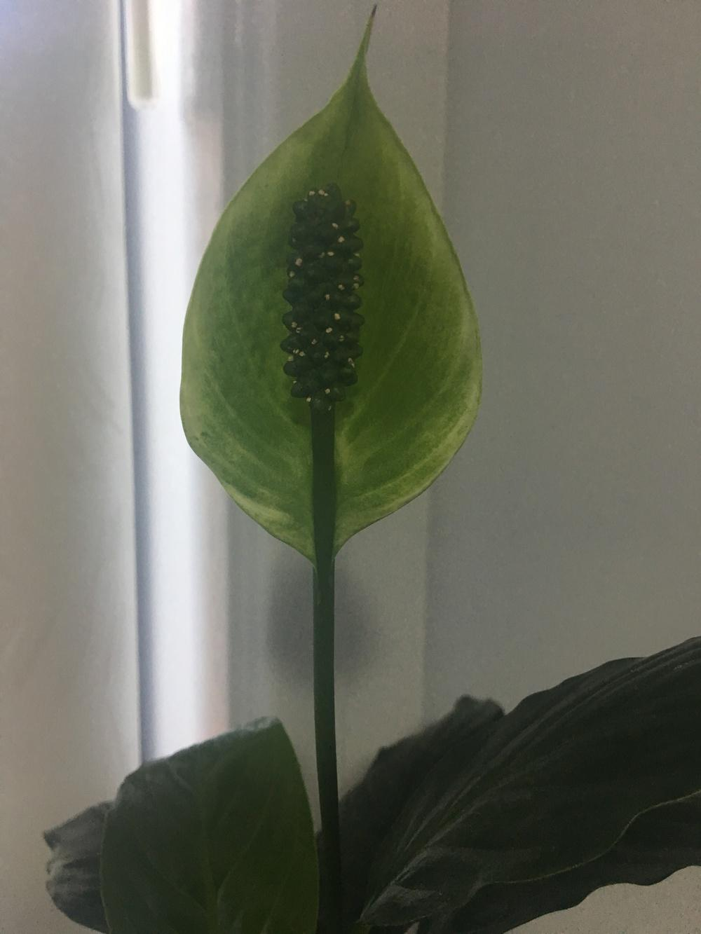 Ask a question forum green peace lily bloom garden thumb of 2018 01 04lynettescdf2dc izmirmasajfo