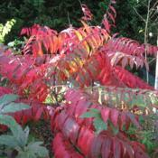 Location: DownDate: 2009-10-09maturing shrub in red fall color