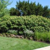 Location: Morton Arboretum in Lisle, IllinoisDate: 2014-08-13a group planted on a low hill