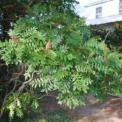 Location: Rehoboth Beach, DelawareDate: 2010-09-08maturing shrub in yard