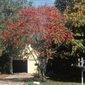 Location: Glen Ellyn, IllinoisDate: October in 1980'sa tree form in autumn color