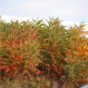 Location: Exton, PennsylvaniaDate: 2010-10-25a colony along highway starting to color for fall