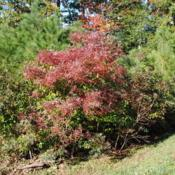 Location: Rehoboth Beach, DelawareDate: 2011-10-30maturing shrub in autumn color