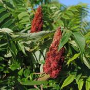 Location: Downingtown, PennsylvaniaDate: 2010-07-03two red fruit spikes