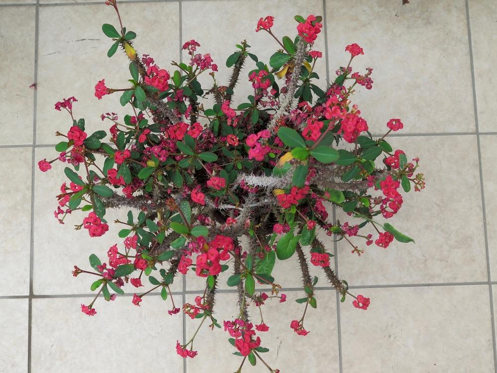 Photo of Crown of Thorns (Euphorbia milii) uploaded by Baja_Costero