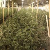 Location: Seattle, WaDate: 2017Mass cultivation of Cannabis. of the Cannabaceae Family