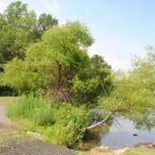 Location: French Creek State Park in southeast PennsylvaniaDate: 2010-06-13maturing trees at lake