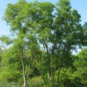 Location: Downingtown, PennsylvaniaDate: 2008-06-15two trees in summer