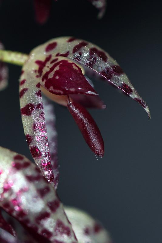 Photo of Orchid (Stelis restrepioides) uploaded by RuuddeBlock