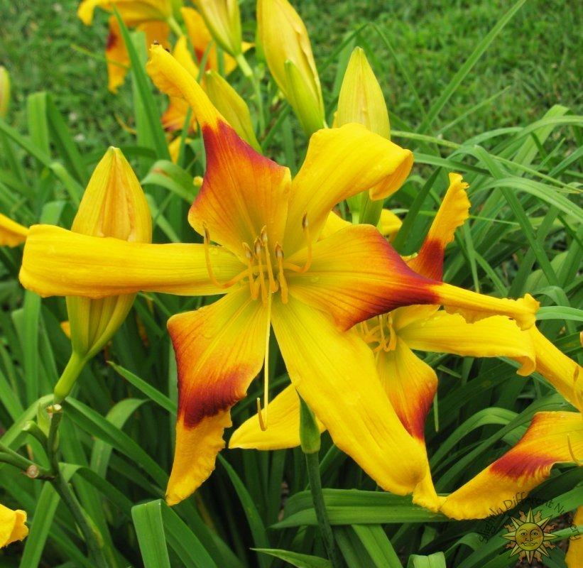 Photo of Daylily (Hemerocallis 'Tweaked Out') uploaded by Calif_Sue
