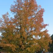 Location: Downingtown, PennsylvaniaDate: 2006-11-05mature tree in fall color