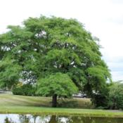 Location: Downingtown, PennsylvaniaDate: 2015-08-09full-grown tree