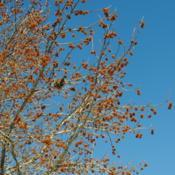 Location: Downingtown, PennsylvaniaDate: 2014-01-30the dry woody ball fruits