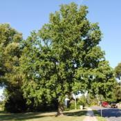 Location: Downingtown, PennsylvaniaDate: 2010-07-02mature tree in landscape