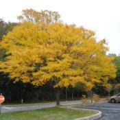 Location: Newtown Square, PennsylvaniaDate: 2010-10-26still young tree in fall color