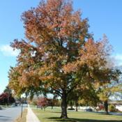 Location: Downingtown, PennsylvaniaDate: 2010-11-07mature tree in autumn color
